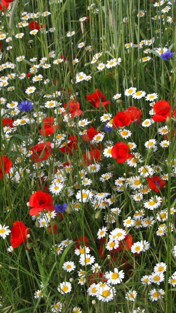 red white blue flowers.jpg