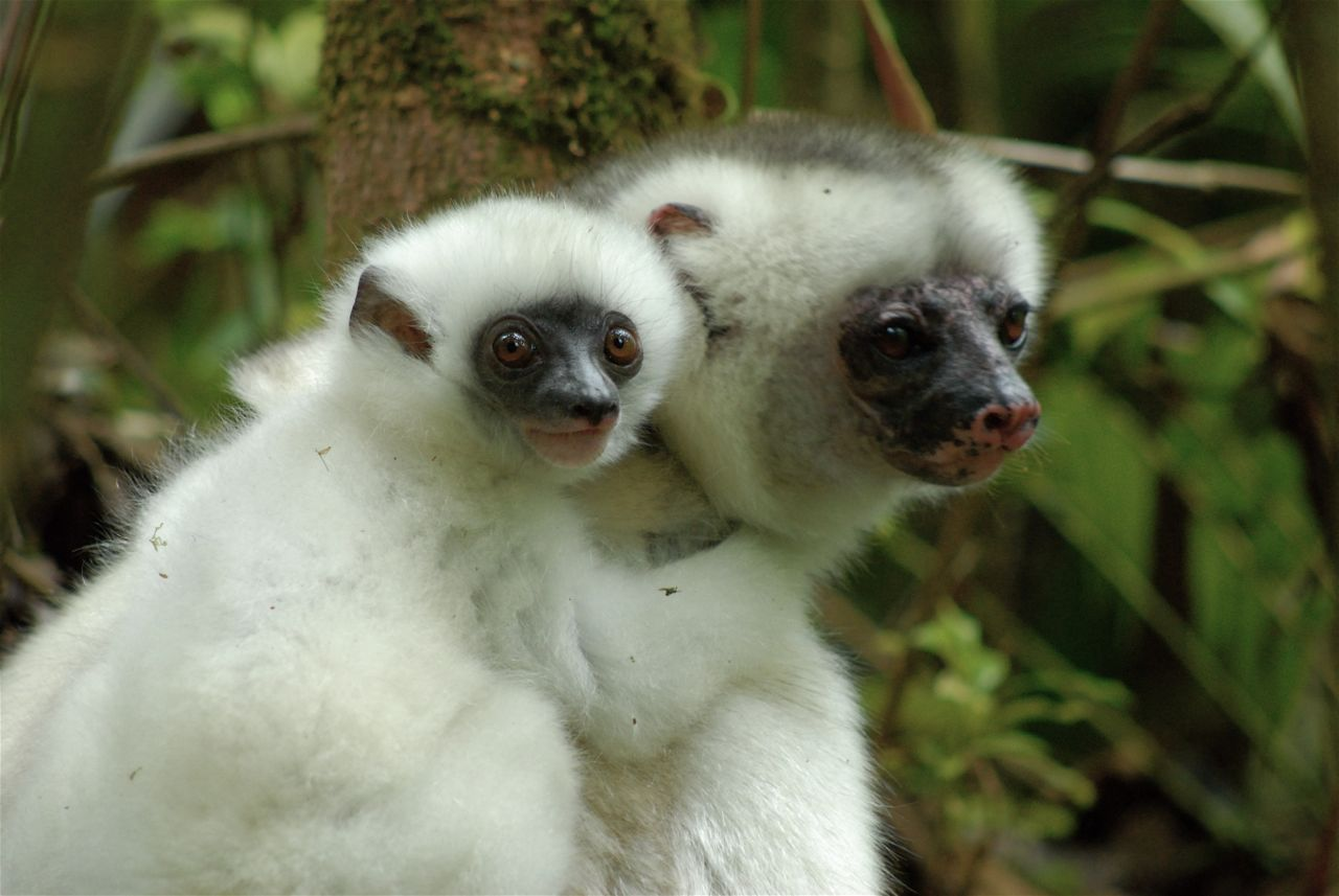 Silky Sifaka Female With Six-Week-Old