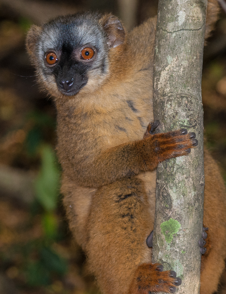 Red-Fronted Lemur 2