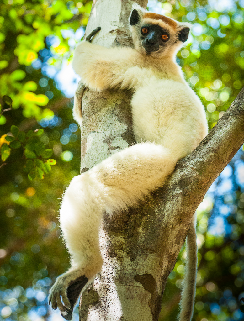 Golden-Crowned Sifaka — full body profile