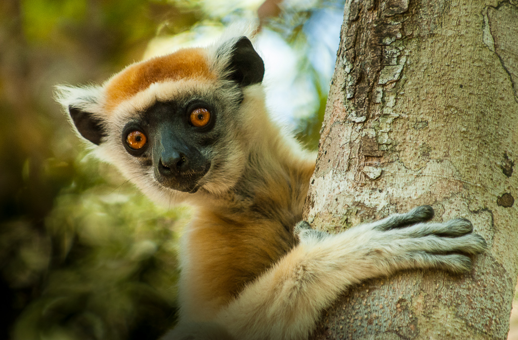 Golden-Crowned Sifaka — peek a boo