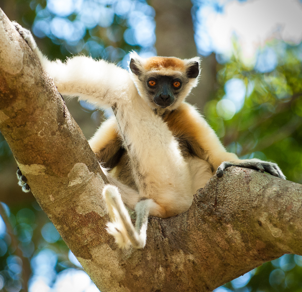 Golden-Crowned Sifaka — stares