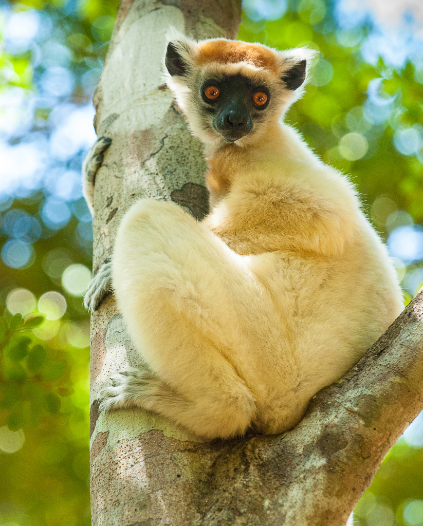 Golden-Crowned Sifaka — seated