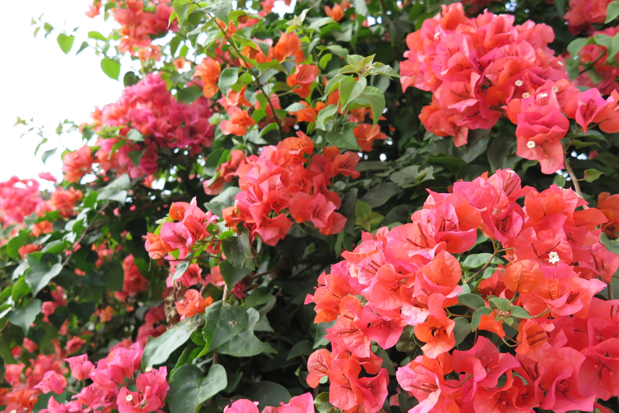 Bougainvillea exploding with cheerful color!