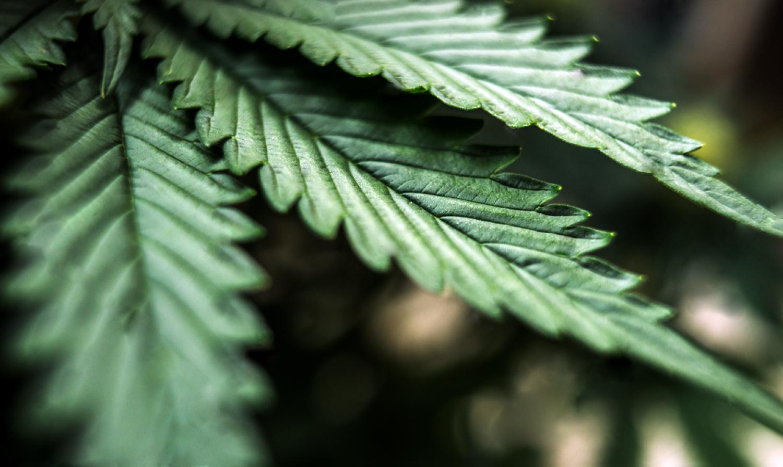 Hemp Leaf.jpg