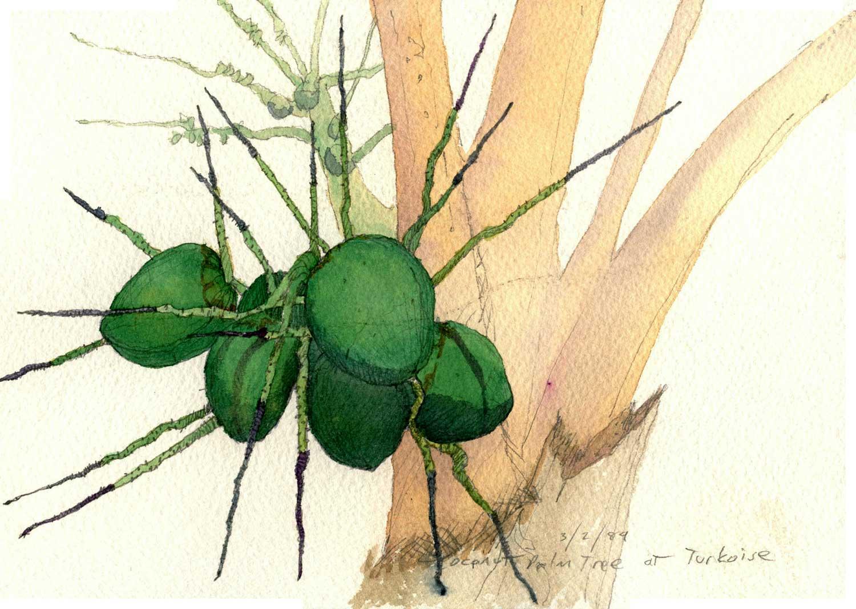 Coconuts, Turkoise.  Pencil and watercolor.