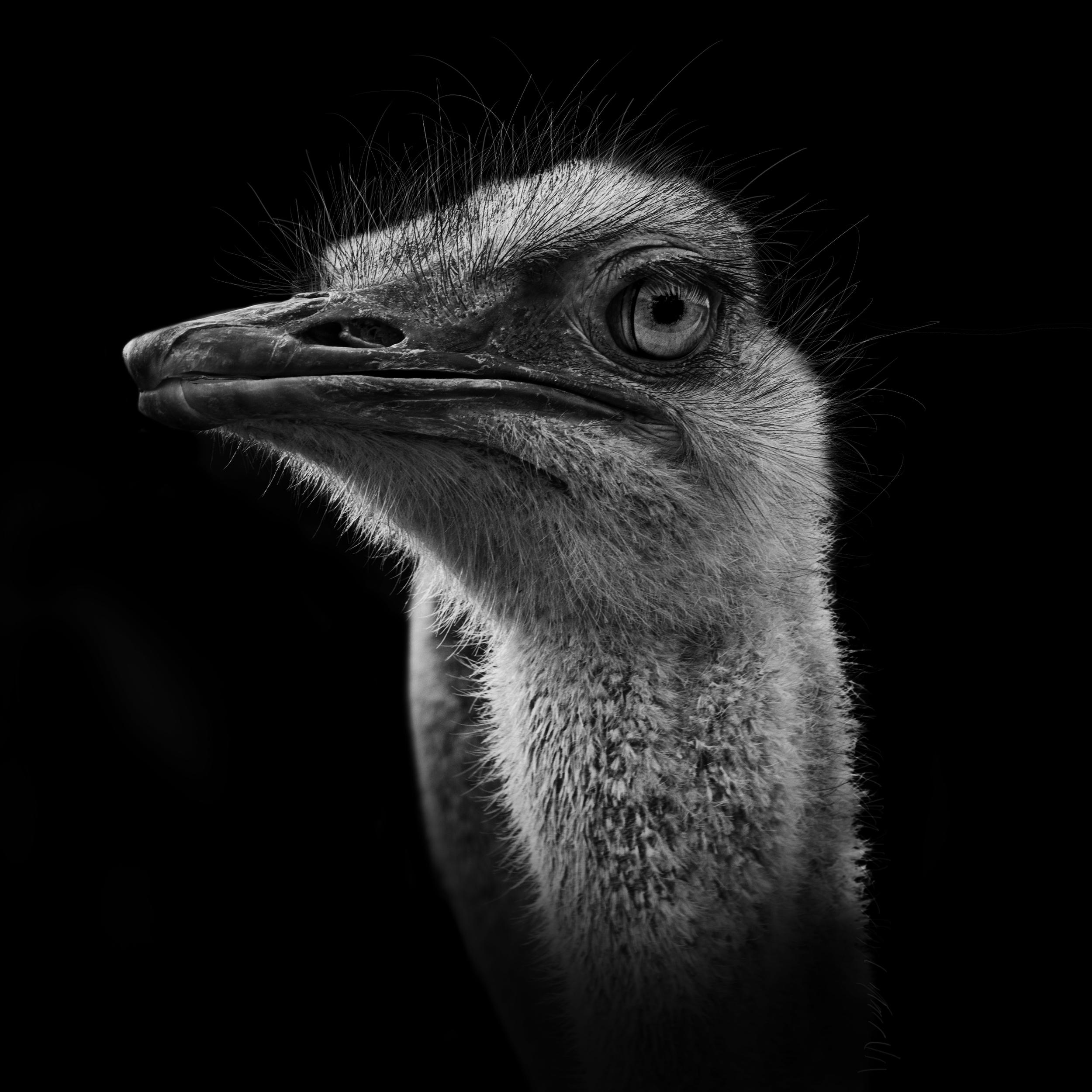 Ostrich (2016)