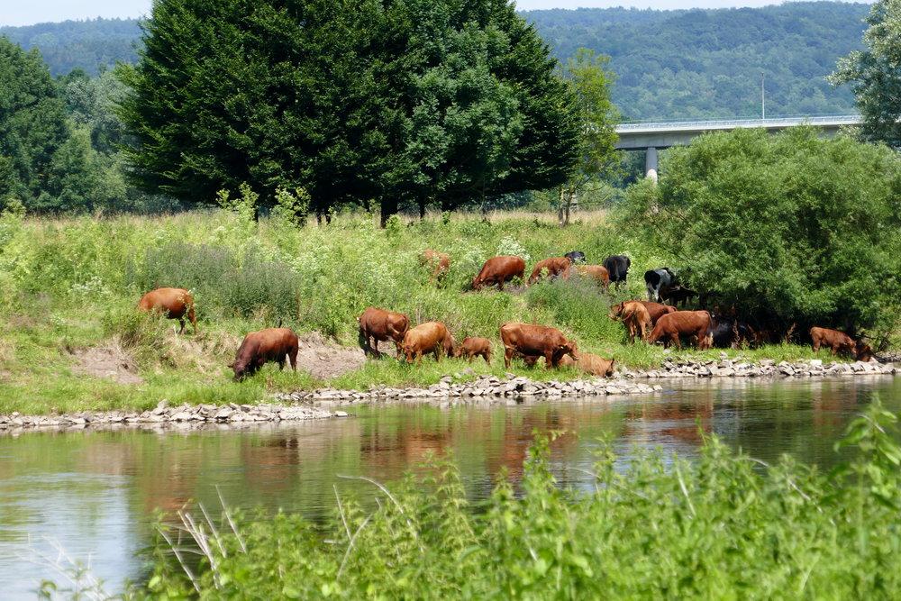 Wenn Kühe Baden 1
