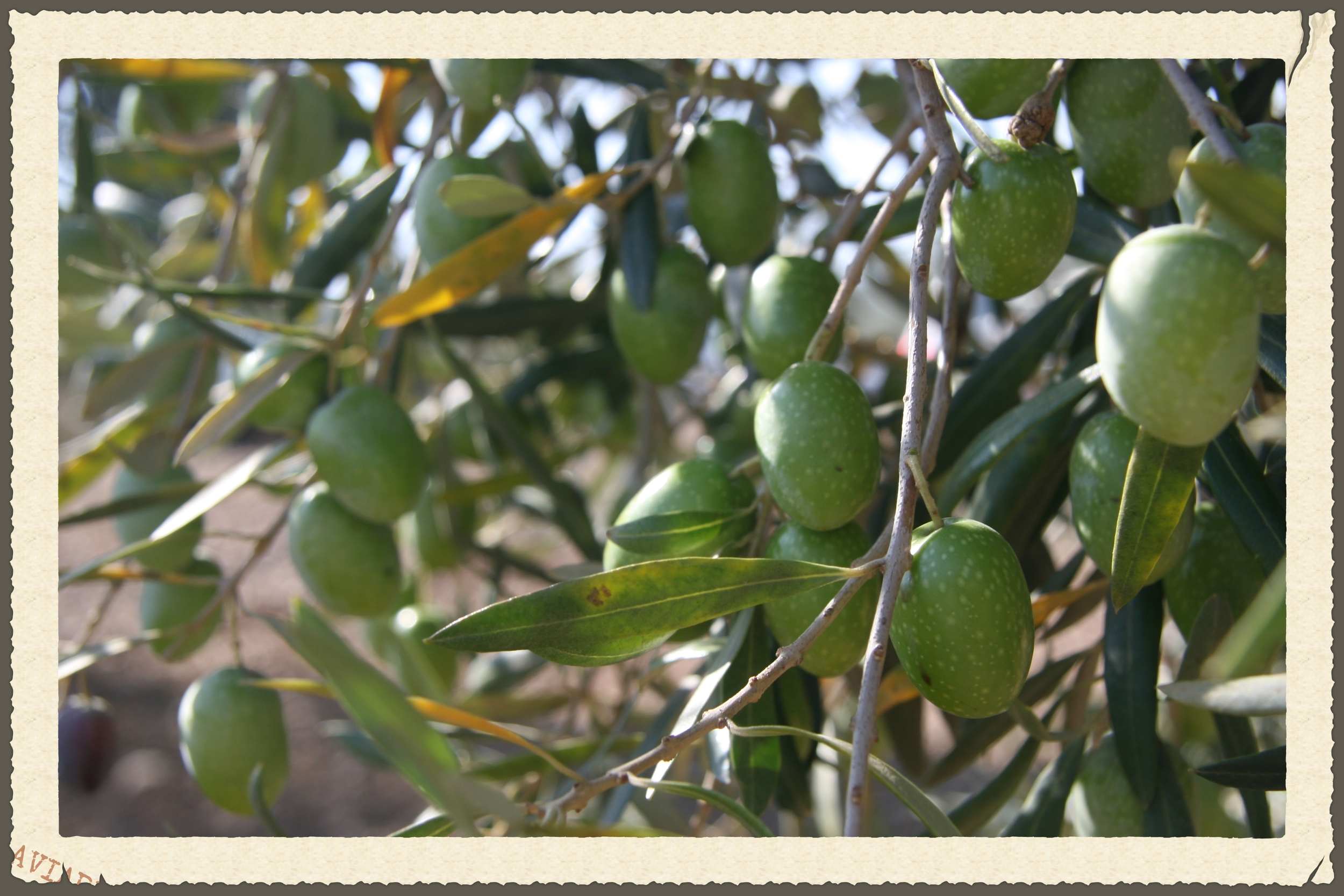 Losada olive on tree 2.jpg