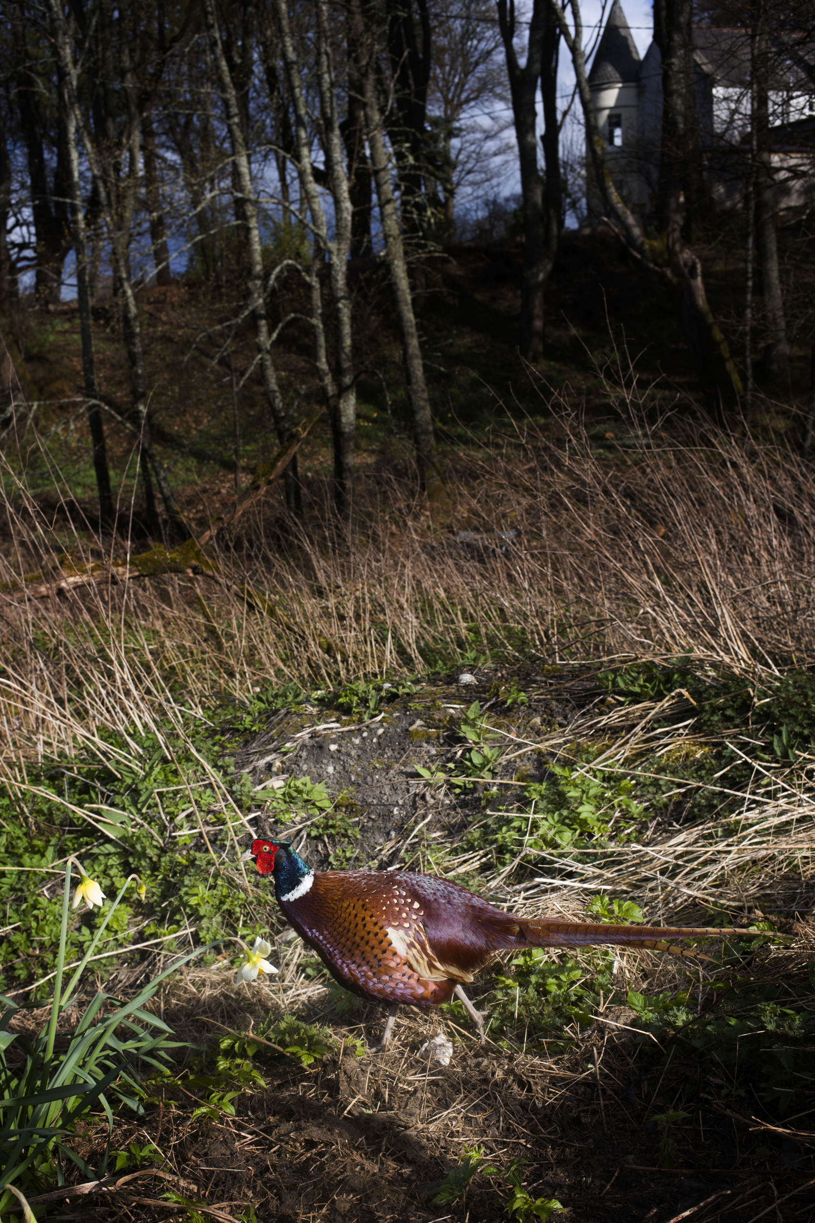 A pheasant in Cragganmore.