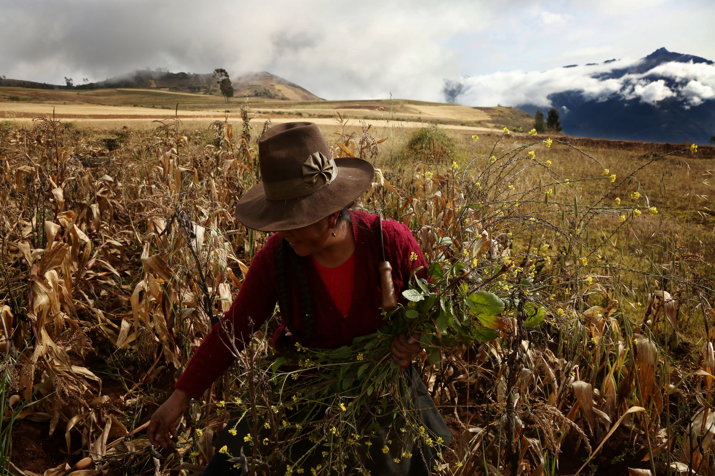 Gregory Corihuman clears weeds from a field of fava beans in Kacllaraccay, Peru.