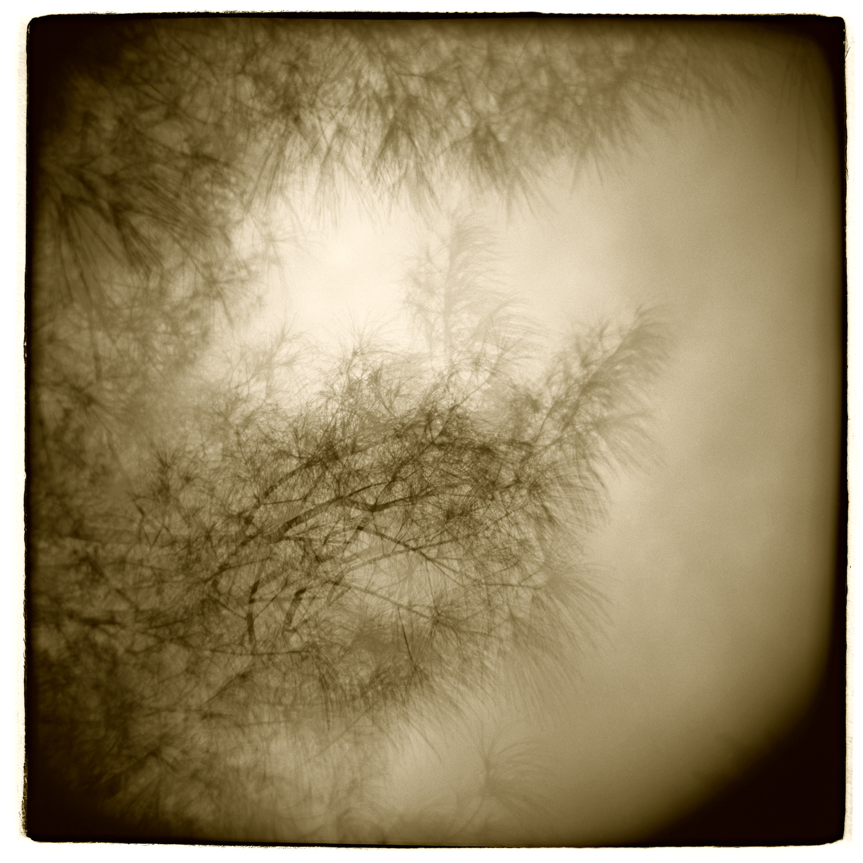 """Pine Study"" H1410  (In-camera Triple Exposure)"