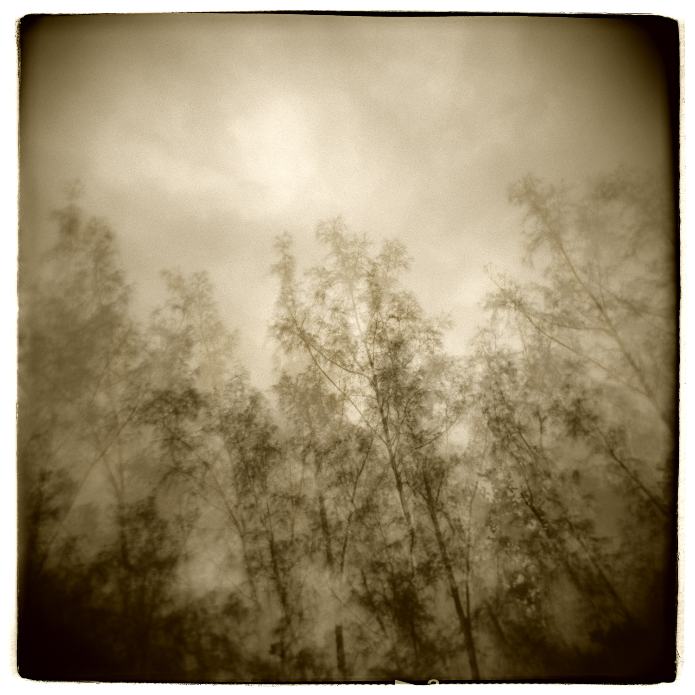 """Pine Study"" H1411  (In-camera Triple Exposure)"