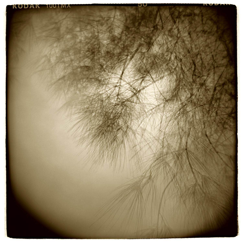 """Pine Study"" H1412  (In-camera Triple Exposure)"
