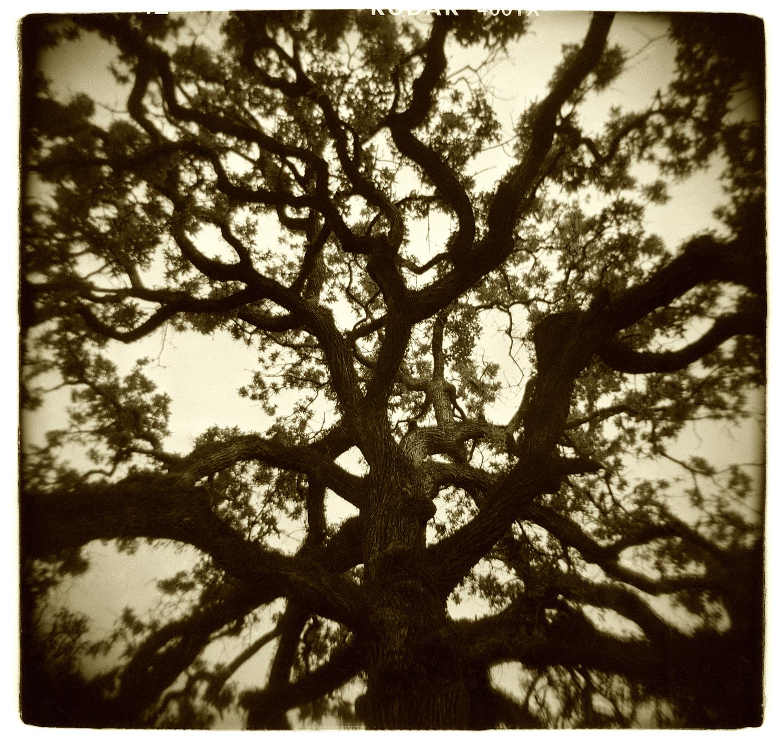 """Tree Study"" H1518"