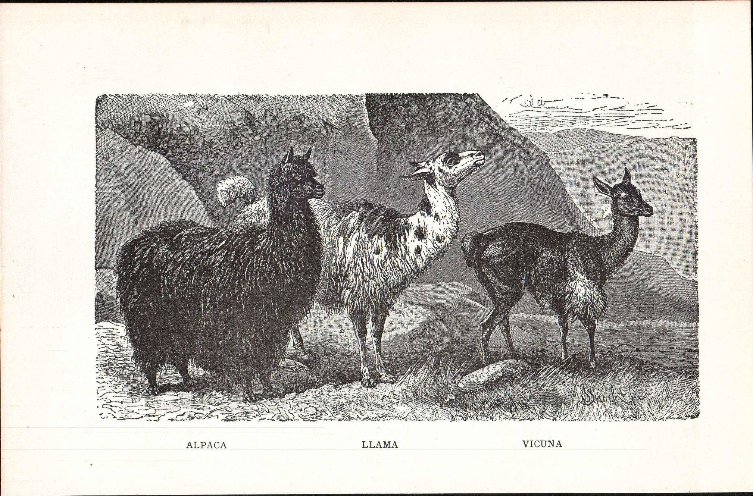 Alpaca,_Llama,_Vicuna_(illustration_from_New_Student's_Reference_Work,_1914).jpg
