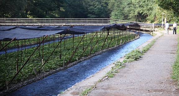 Wasabi Farming Usually Takes Place in a River. It is extremely hard to cultivate.