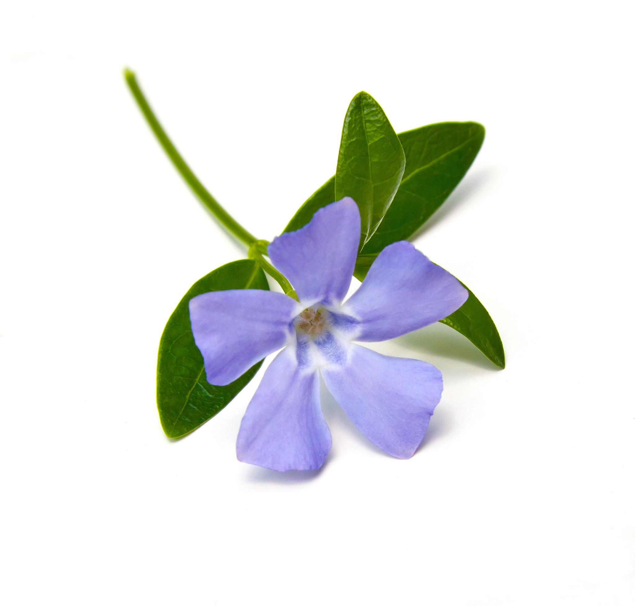 Vinca major flower vinpocetine