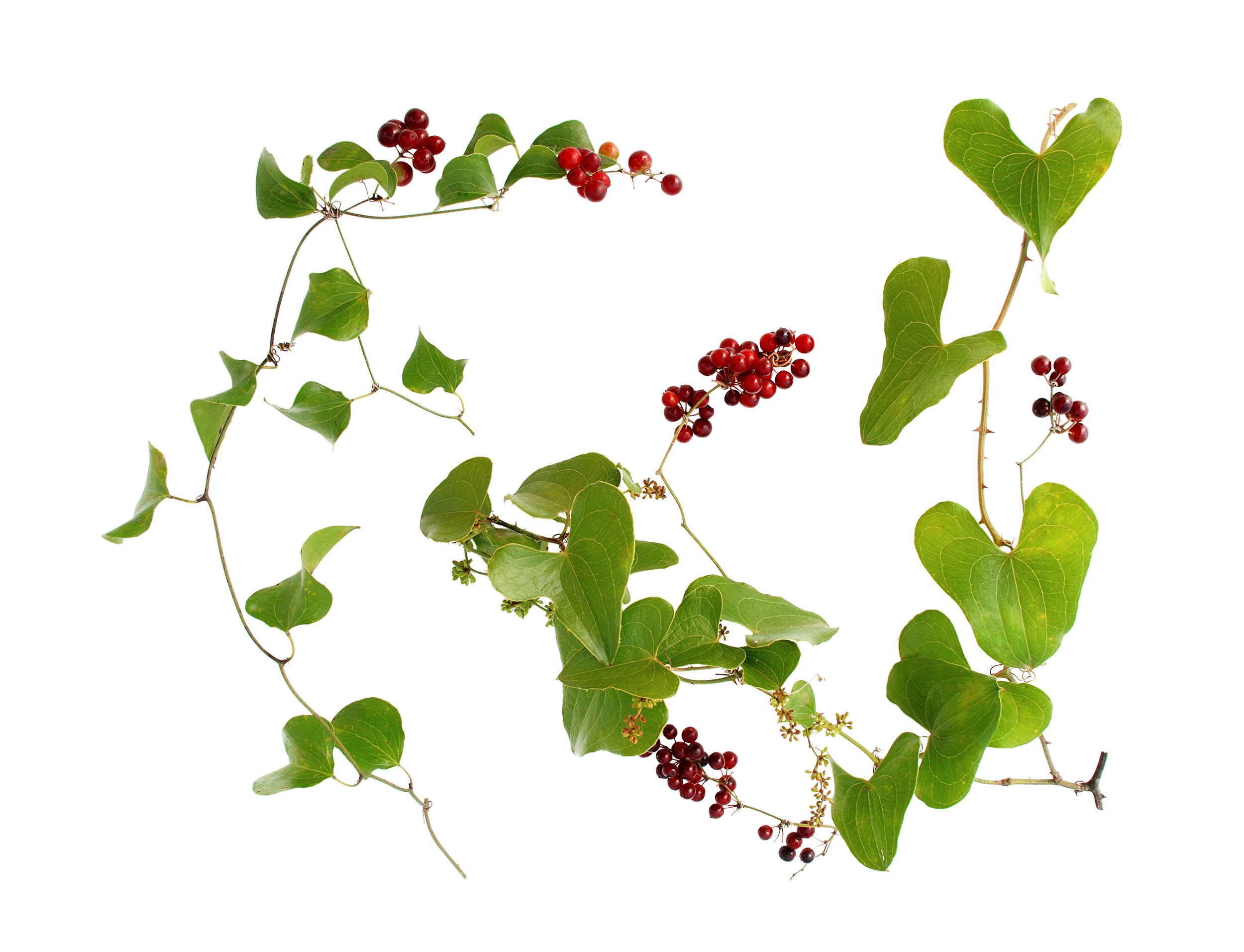 sarsaparilla plant