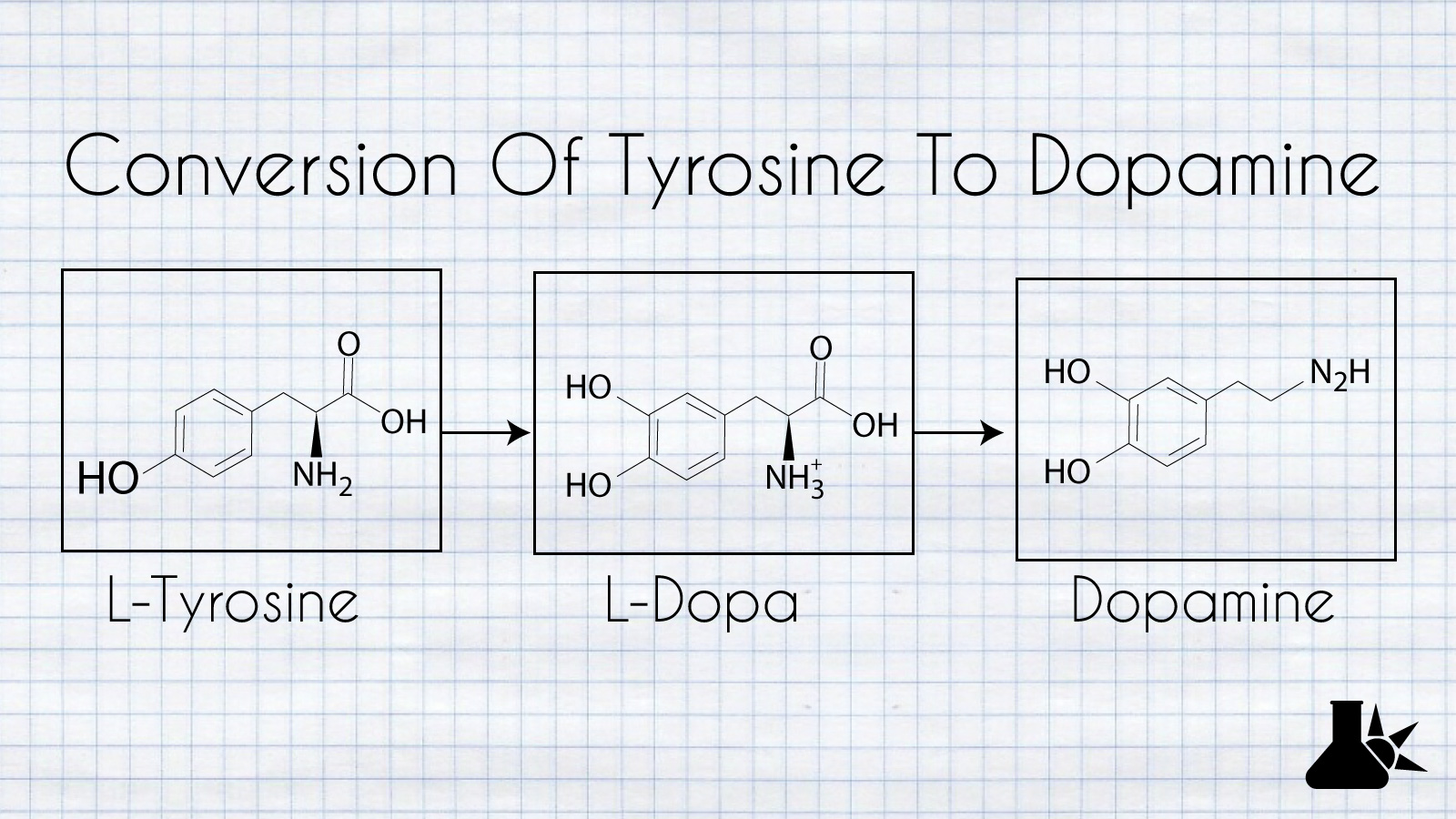 the conversion of tyrosine to dopamine