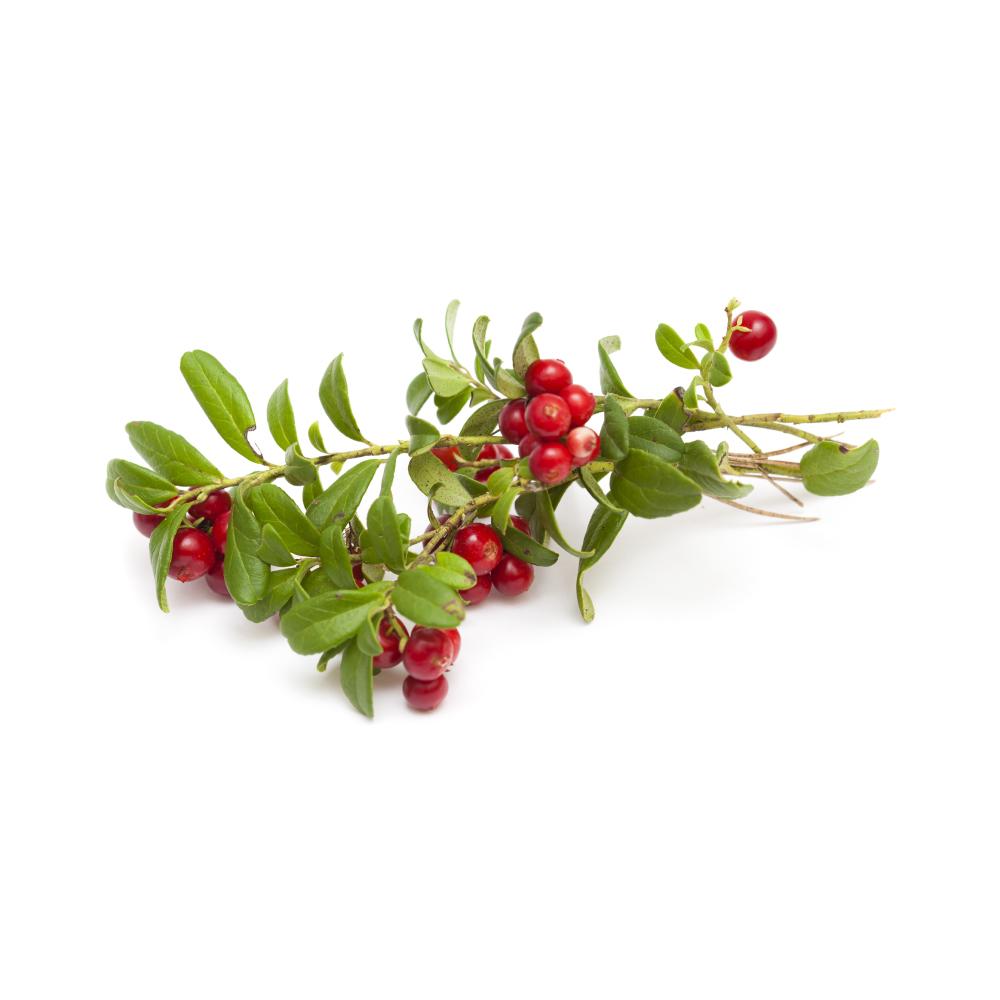 bearberry-arctostaphylos-uva-ursi-herb.jpg