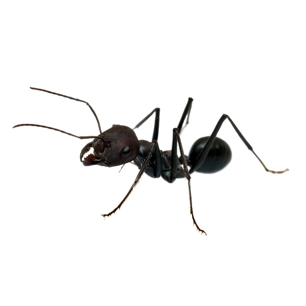 black-ant-polyrhachis.jpg