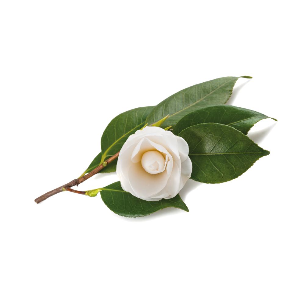 tea-camellia-sinensis-cover.jpg