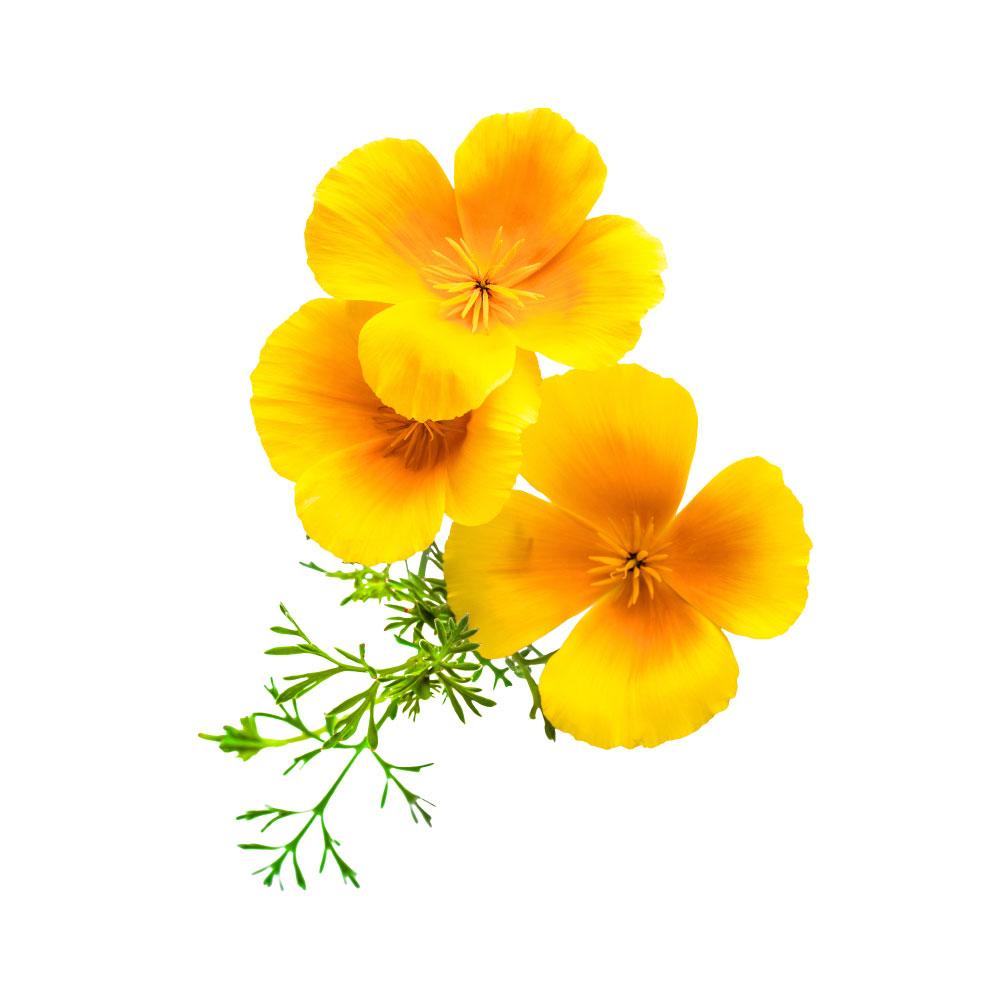 california-poppy-cover.jpg