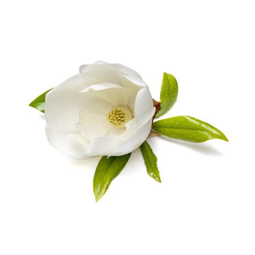 Magnolia (Magnolia officinalis)