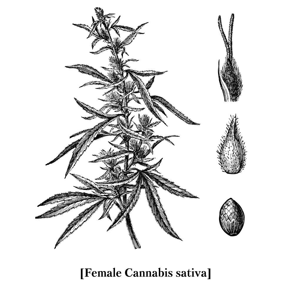 female-cannabis-sativa.jpg