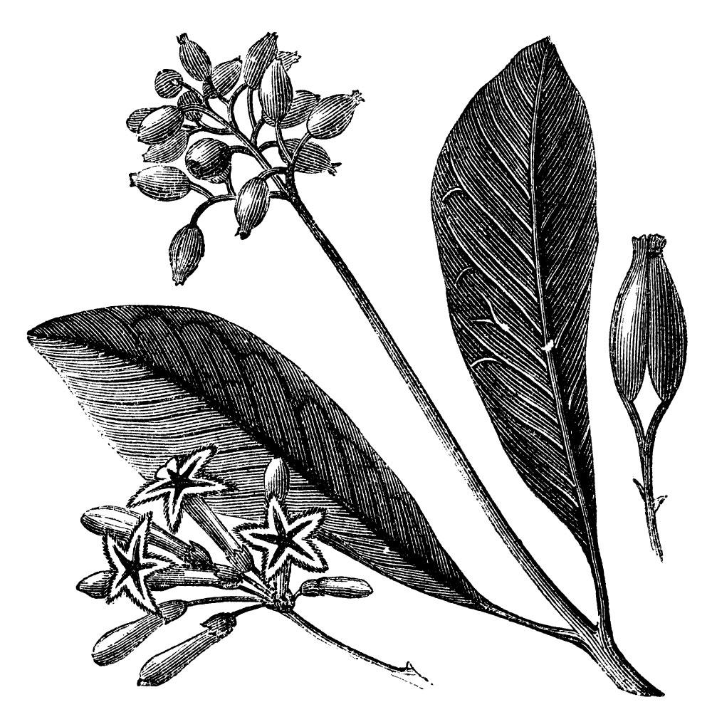 cinchona-tree.jpg