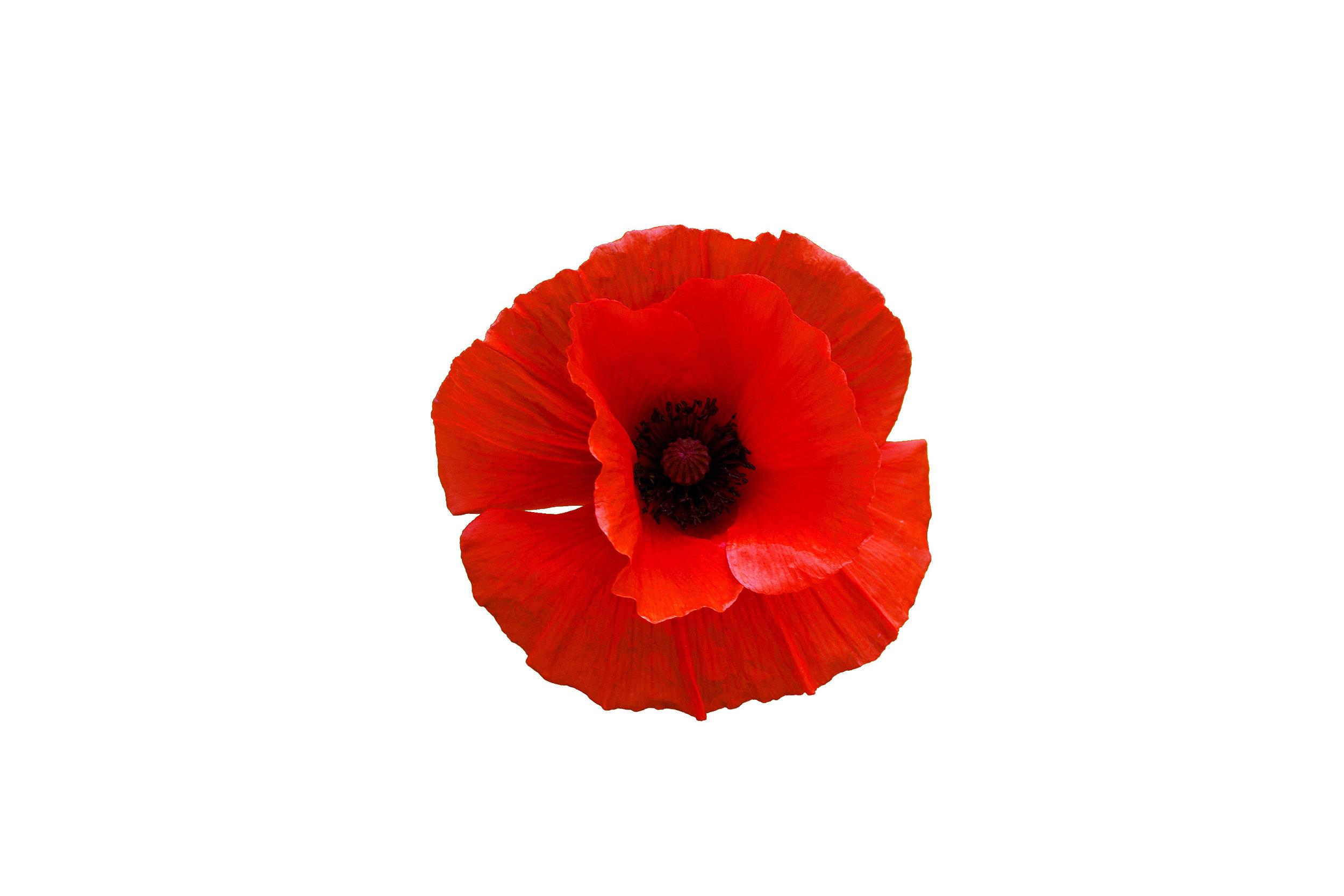 poppy-plant.jpeg