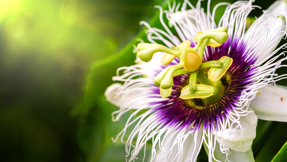 Global Passionflower Extract Market Growth – The Daily Chronicle