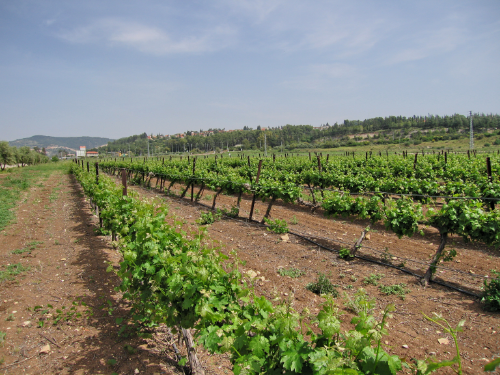 Vineyards in the Valley of Sorek today