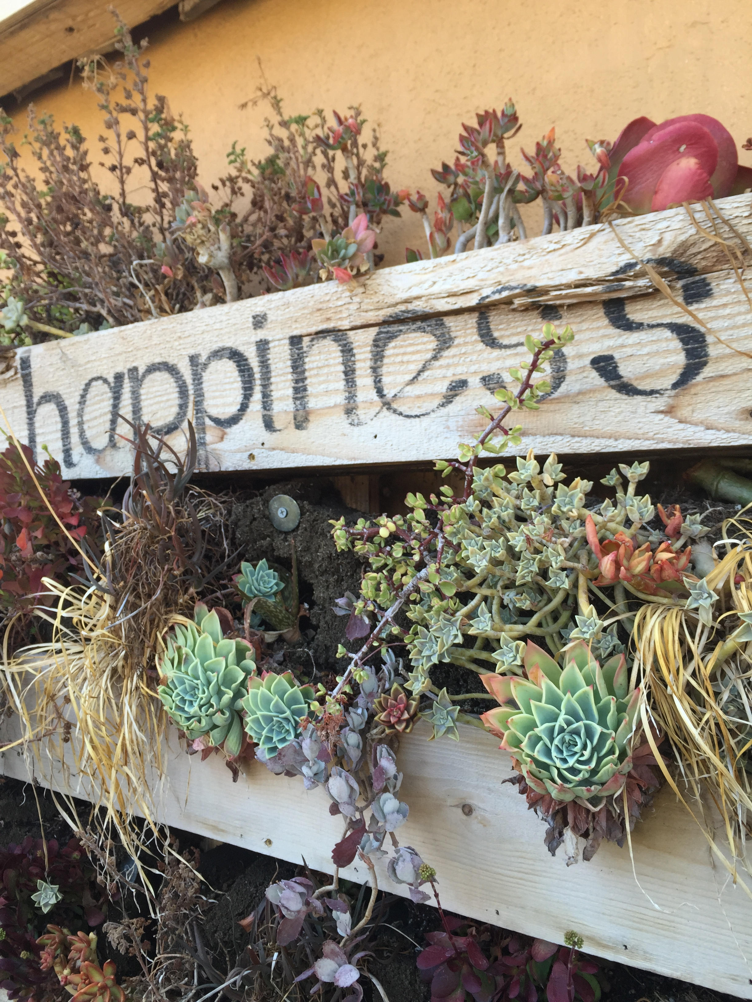 happiness-succulents