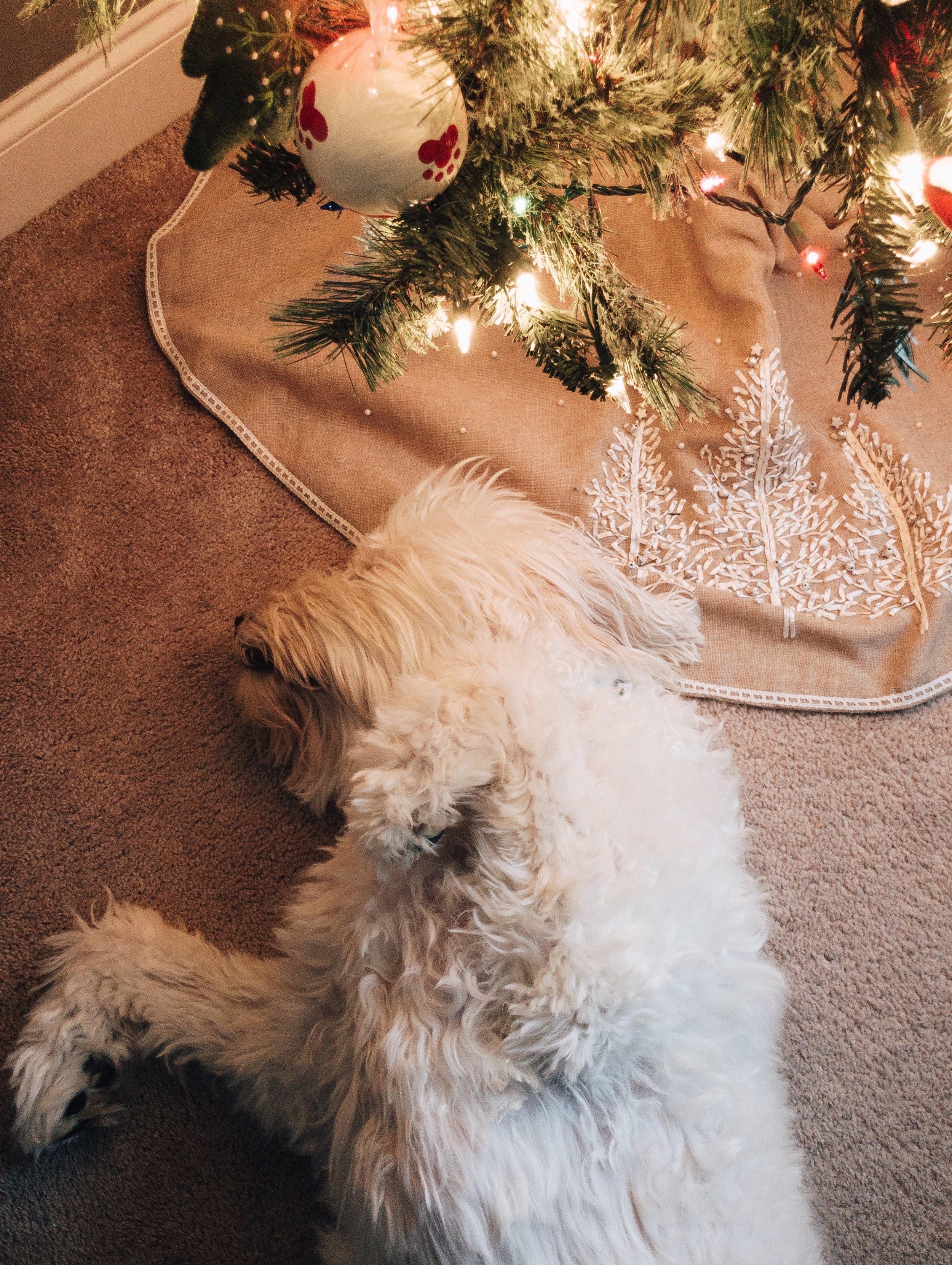 english-cream-goldendoodle-christmas-tree.jpg
