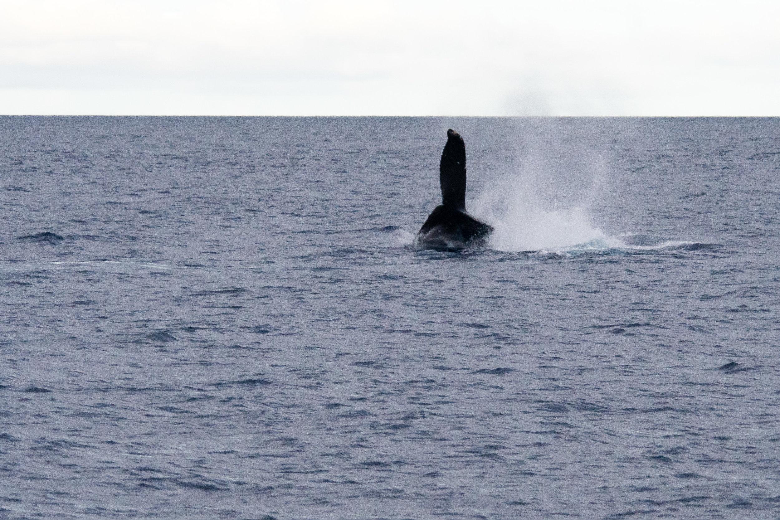 Fin Slapping Humpback Whale off Maui, Hawaii.