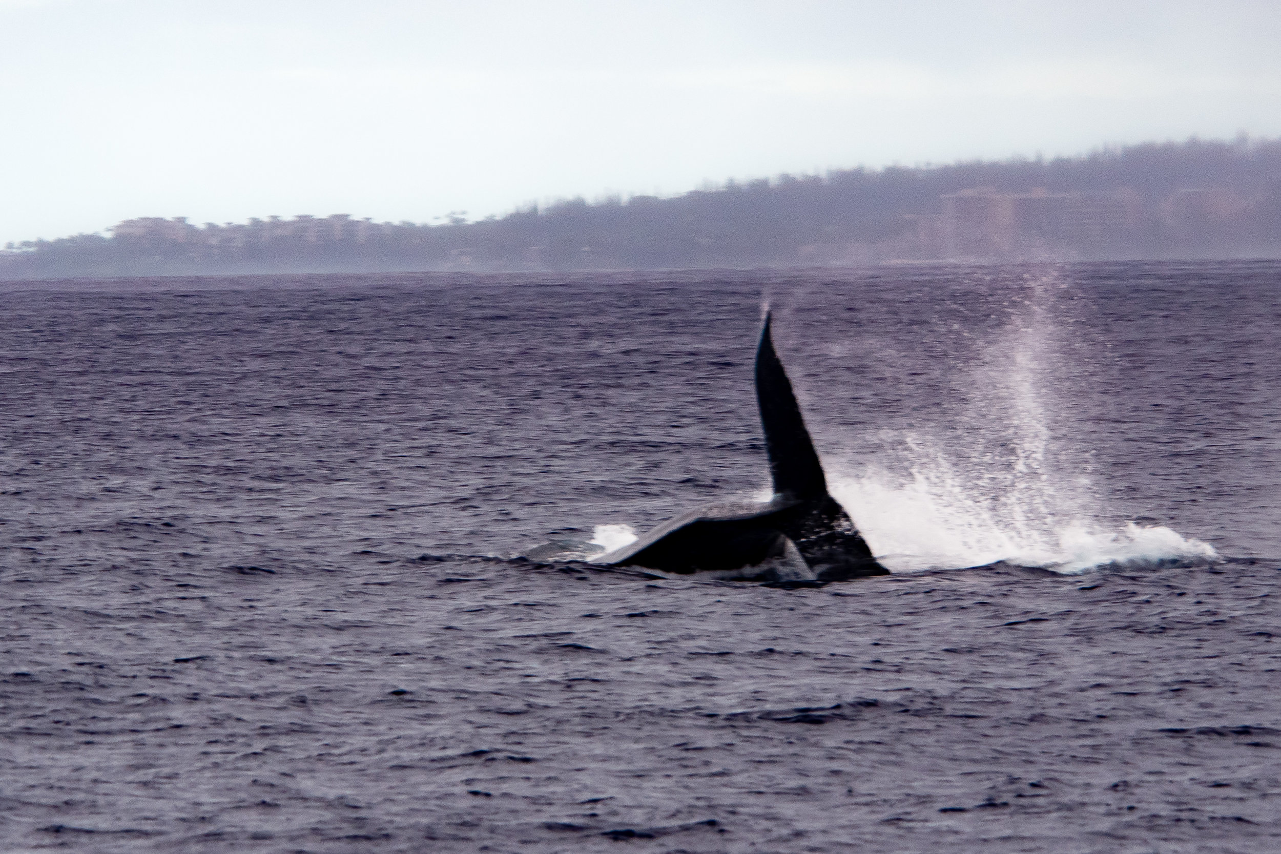 Fin Slap Whale-Notice the hotels on the beach in the background.
