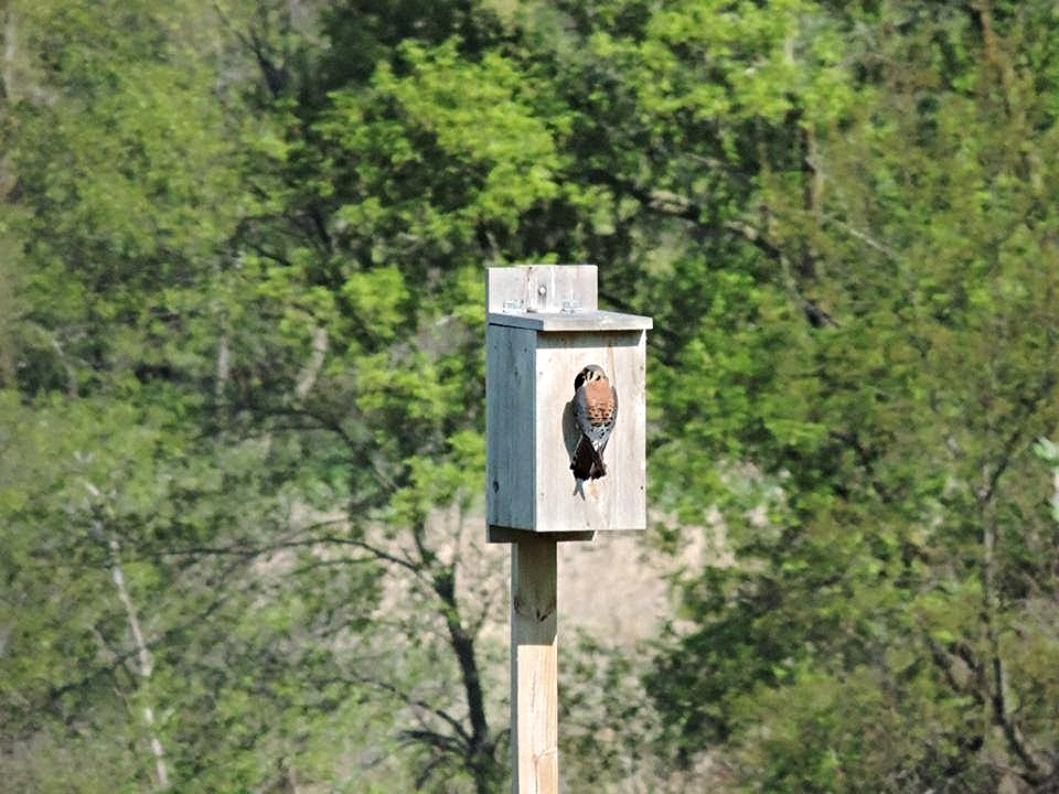 Kestrel at one of our nesting boxes.