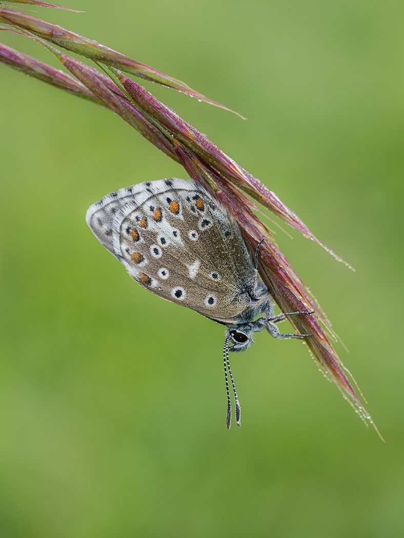 Early Morning Adonis Blue
