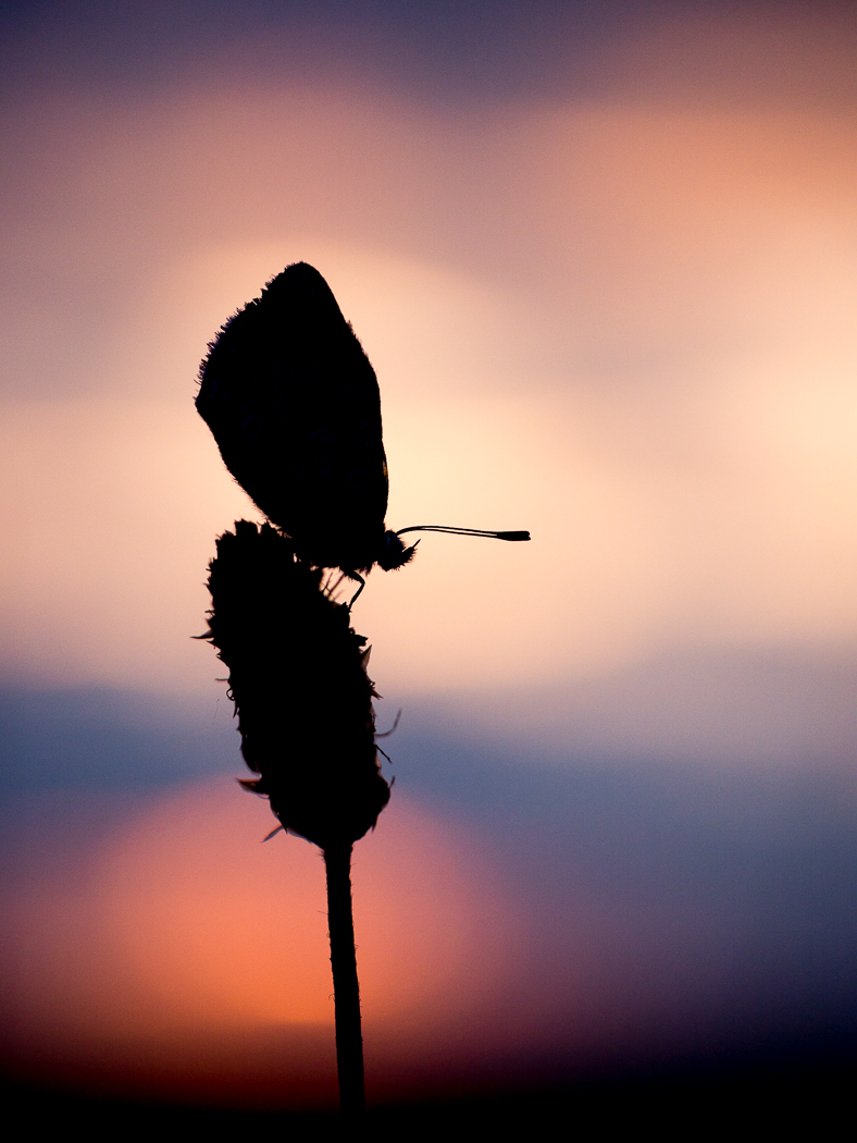Adonis Blue Silhouette
