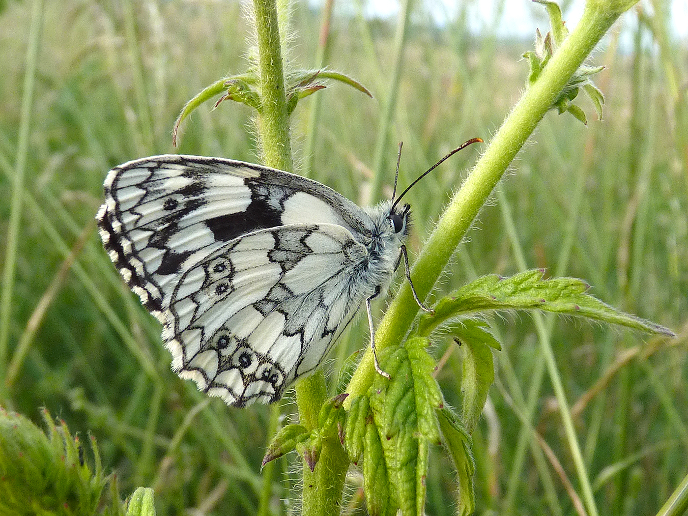 Second 'Marbled White (male)' by Richard Temlett