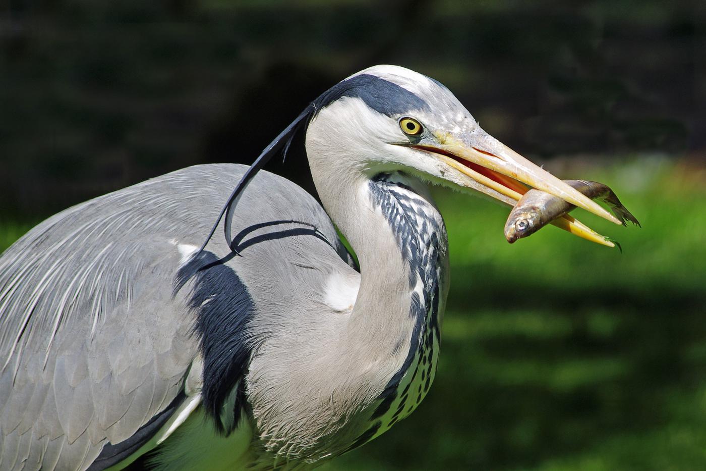'Heron Feeding' by Richard Ramsey