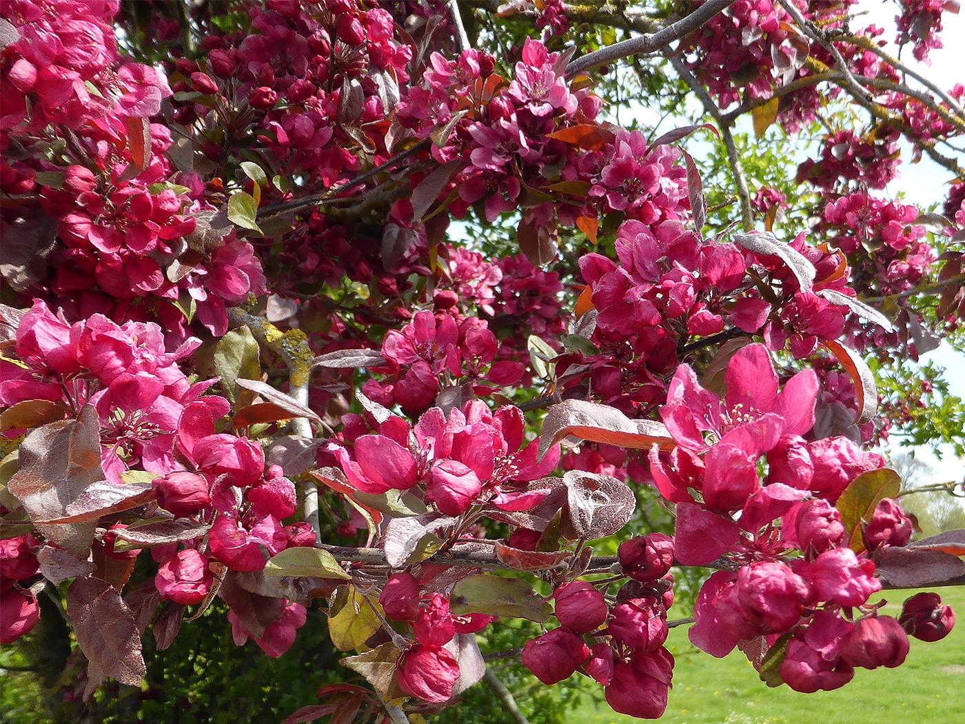 'Hawthorn Tree' by Richard Temlett