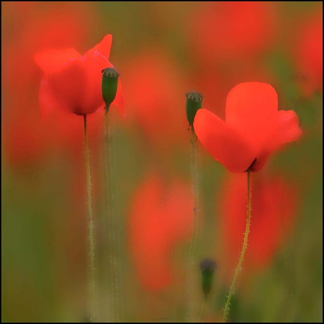 'Poppy Melee' by Sheila Read