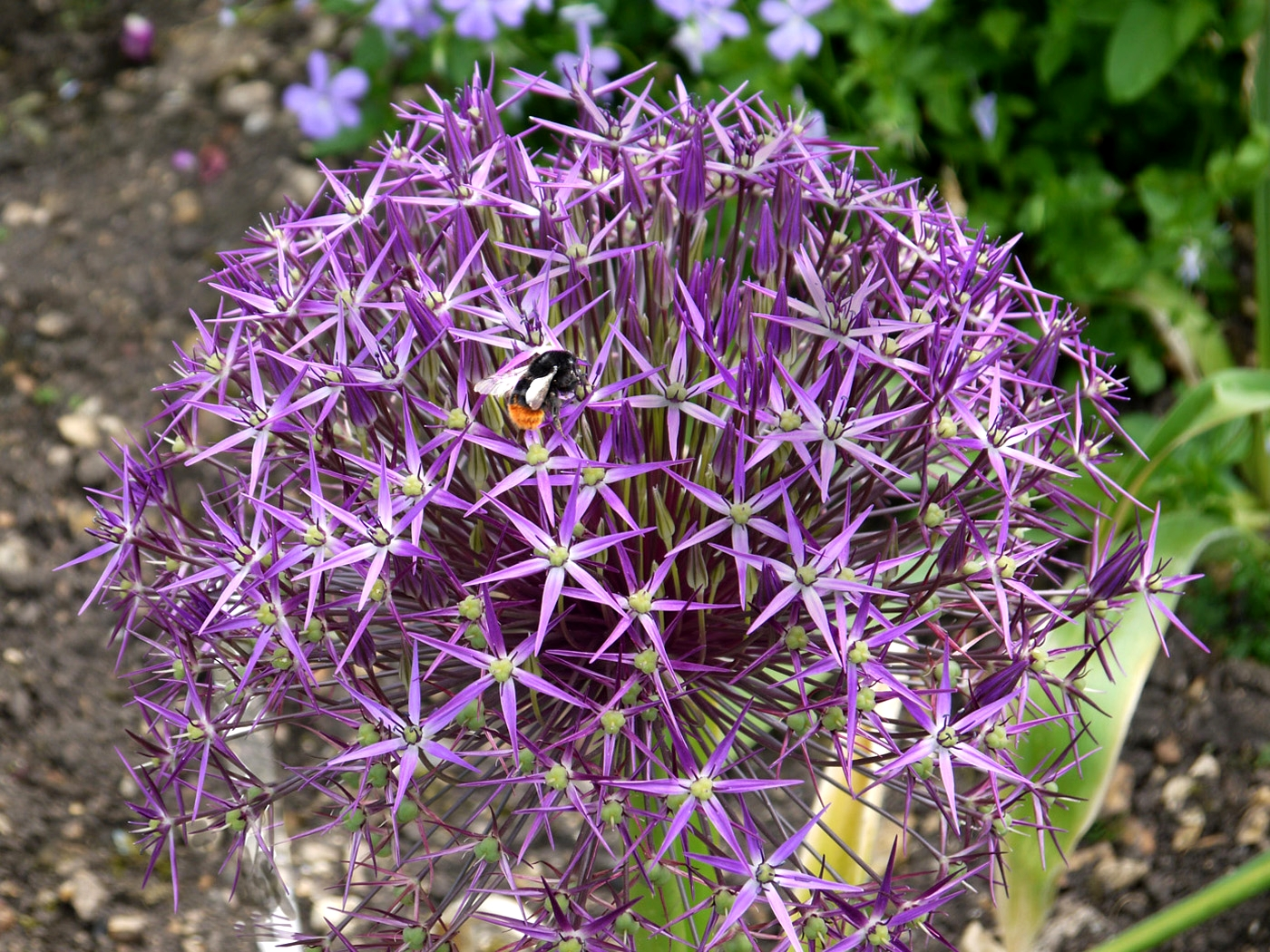 'Allium Bee' by Graham Chubb