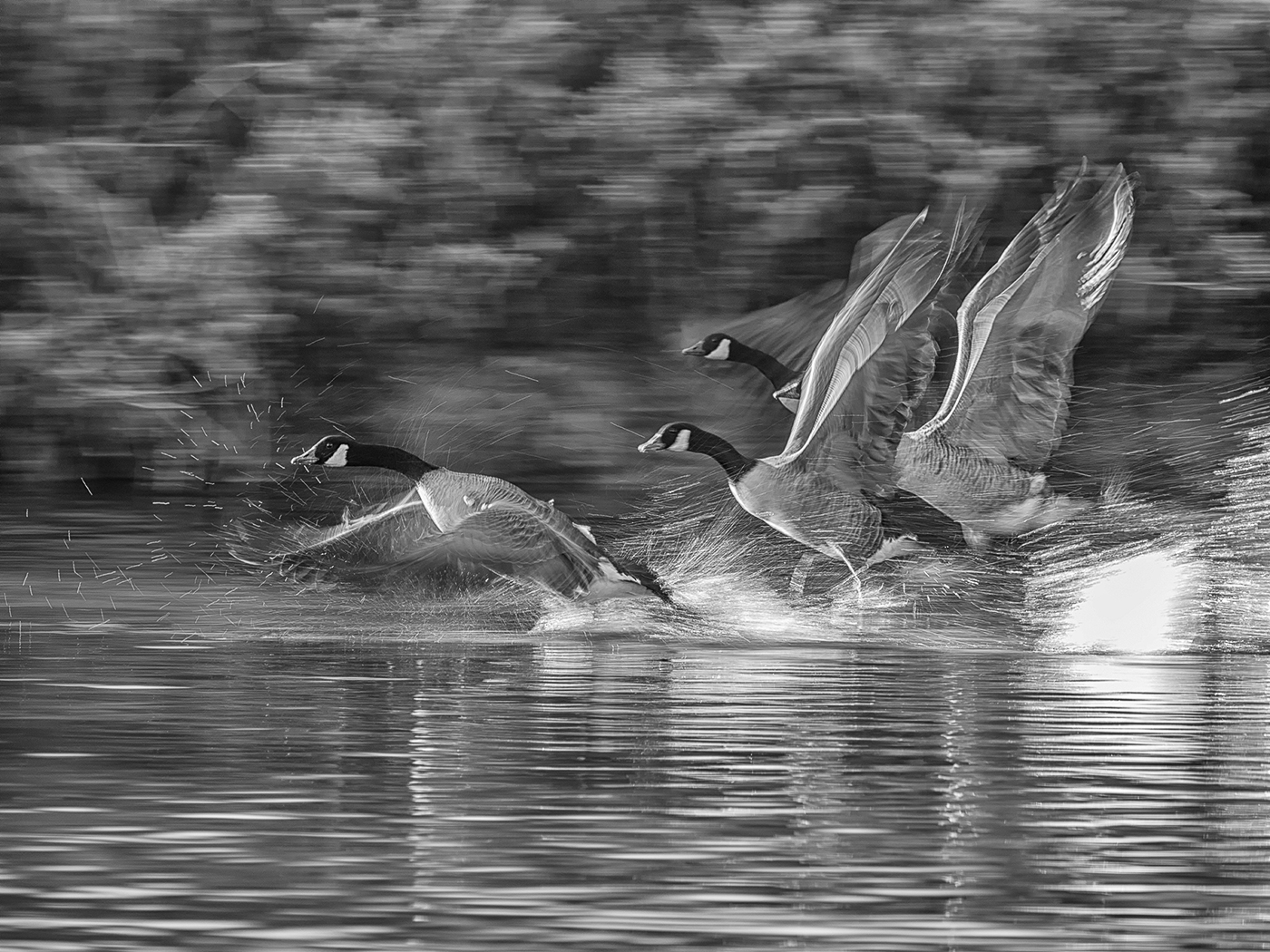 First 'Canada Geese lift-off' by Mark Cooper