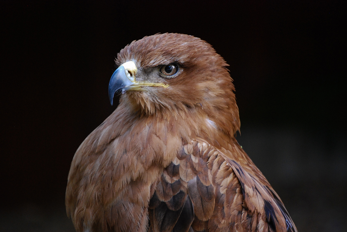 First 'Harris Hawk' by Roy Hilliard