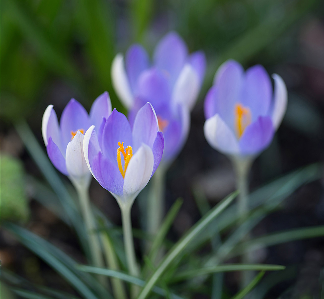 'Crocus' by Sarah Shelley
