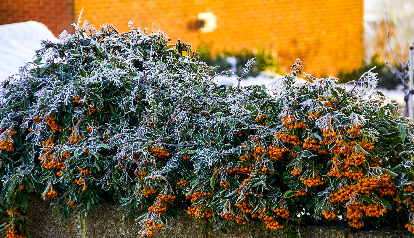 'Frosty Leaves' by John McNeilly
